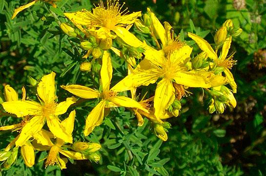 Sarı Kantaron Faydaları Ve özellikleri Kantarongentr